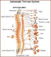 autonomic-nervous-system-1